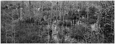 Cypress trees and marsh. Everglades National Park (Panoramic black and white)