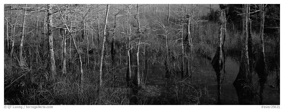 Marsh scene with cypress trees and reflections. Everglades National Park (black and white)