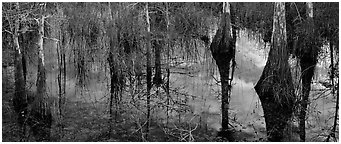 Calm sky and cypress trees reflections. Everglades National Park (Panoramic black and white)