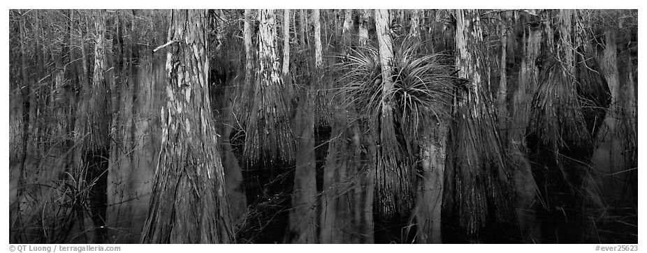 Bald cypress growing out of dark swamp water. Everglades National Park (black and white)