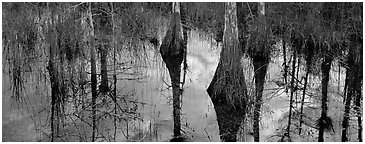 Cypress reflections. Everglades National Park (Panoramic black and white)