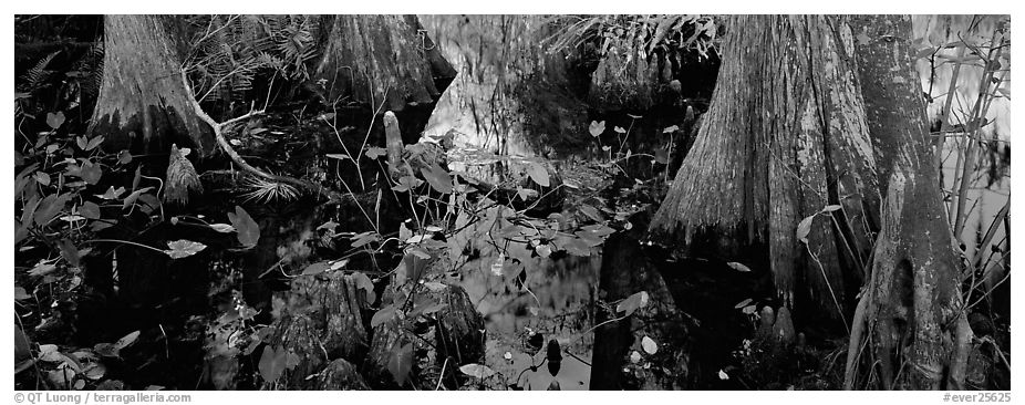 Large bald cypress roots and knees. Everglades National Park (black and white)