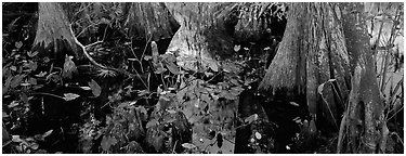 Large bald cypress roots and knees. Everglades National Park (Panoramic black and white)