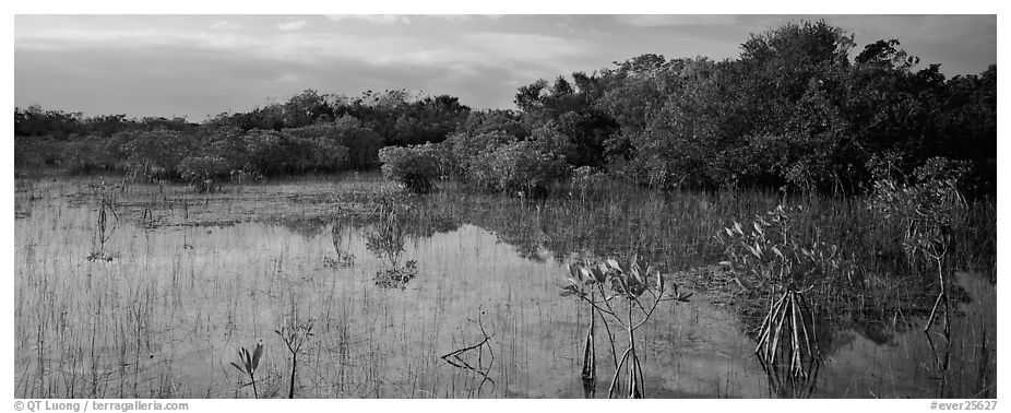 Mixed Marsh landscape with mangroves. Everglades National Park (black and white)