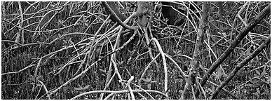 Mangrove floor. Everglades National Park (Panoramic black and white)