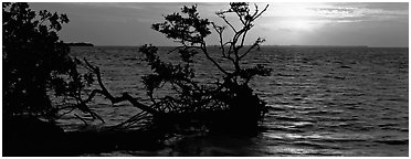 Mangroves and sunrise over Florida Bay. Everglades National Park (Panoramic black and white)