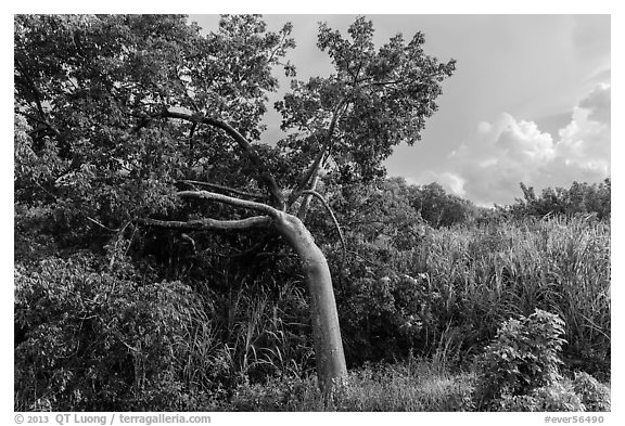 Gumbo limbo tree, Chekika. Everglades National Park (black and white)