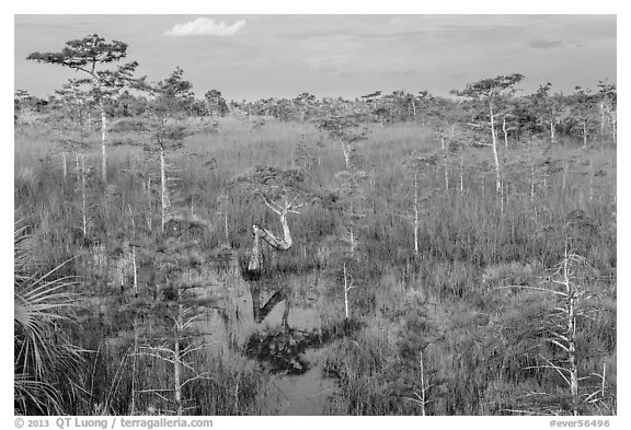Cypress landscape with Z-tree. Everglades National Park (black and white)