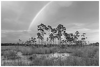 Rainbow over pine trees near Mahogany Hammock. Everglades National Park, Florida, USA. (black and white)