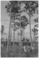Great white heron amongst pine trees. Everglades National Park, Florida, USA. (black and white)