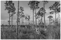 Pinelands with great white heron. Everglades National Park ( black and white)