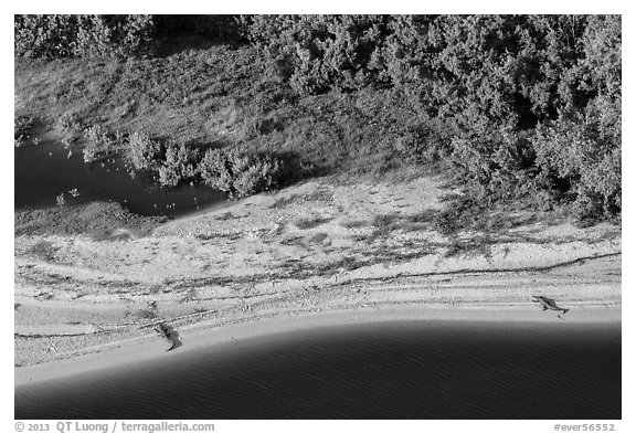 Aerial view of two alligators sunning on beach. Everglades National Park (black and white)