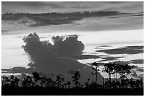 Pines and clouds at sunset. Everglades National Park ( black and white)