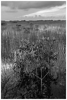 Freshwater marsh with Red Mangrove. Everglades National Park ( black and white)