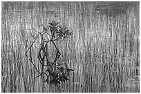 Needle rush and dwarfed mangrove. Everglades National Park, Florida, USA. (black and white)