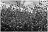 Flowers and tall grasses in summer. Everglades National Park ( black and white)