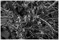 Tampa Butterfly Orchid (Encyclia tampensis). Everglades National Park ( black and white)