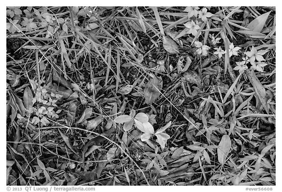 Ground close-up, hammock. Everglades National Park (black and white)