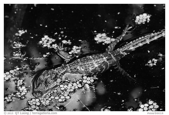 Baby alligator in pond. Everglades National Park (black and white)