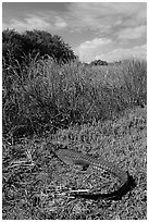 Young alligator at Eco Pond. Everglades National Park ( black and white)