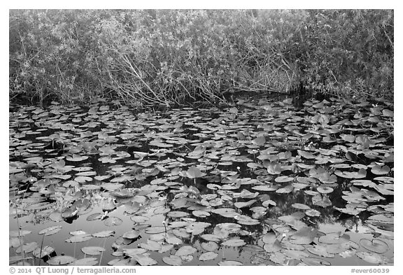Lily pads, Shark Valley. Everglades National Park (black and white)