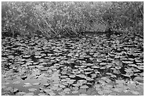 Lily pads, Shark Valley. Everglades National Park ( black and white)