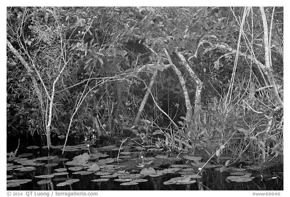 Lily pads and thicket, Shark Valley. Everglades National Park (black and white)