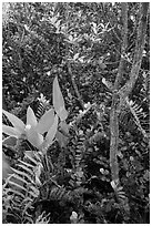 Tropical hardwood forest in hammock, Shark Valley. Everglades National Park ( black and white)