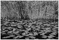 Water lillies and thicket, Shark Valley. Everglades National Park ( black and white)