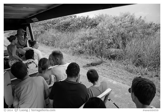 Tourists look at alligator from tram, Shark Valley. Everglades National Park (black and white)