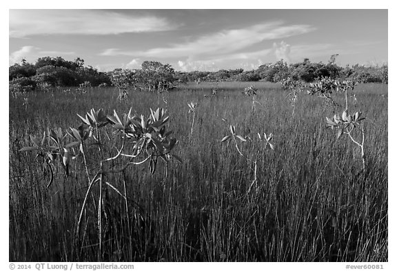 Dwarfed red mangroves in summer. Everglades National Park (black and white)