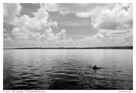 Dolphin fin in Coot Bay. Everglades National Park (black and white)