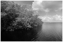 Mangroves bordering Coot Bay. Everglades National Park ( black and white)