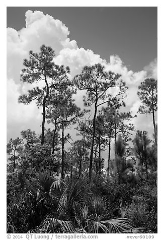 Pines and summer clouds. Everglades National Park (black and white)