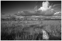 Dwarf Cypress and summer clouds. Everglades National Park ( black and white)