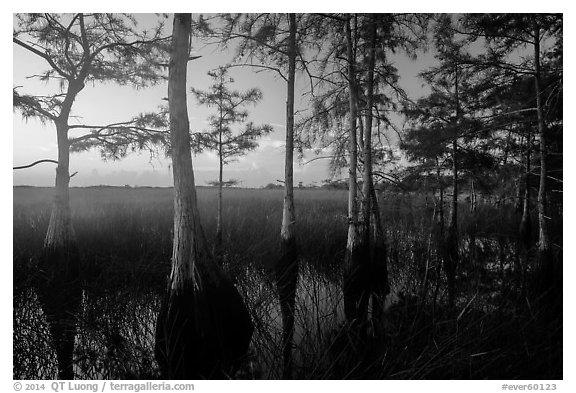 Cypress at edge of dome, summer sunrise. Everglades National Park (black and white)