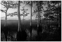 Cypress at edge of dome, summer sunrise. Everglades National Park ( black and white)