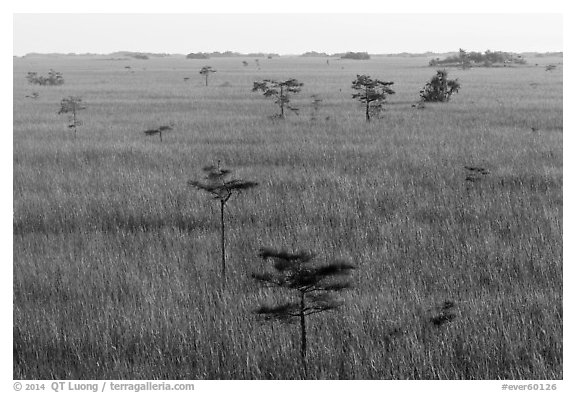 Freshwater prairie punctuated by cypress at sunrise. Everglades National Park (black and white)