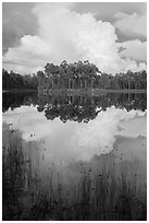 Island with pines and cloud, Long Pine Key. Everglades National Park ( black and white)