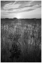 Sun rising above dwarf mangroves. Everglades National Park ( black and white)