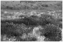 Dwarf mangroves and cypress. Everglades National Park ( black and white)