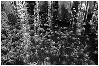Bacopa and cypress trees. Everglades National Park ( black and white)