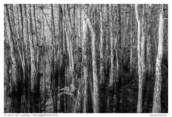 Dense cypress dome. Everglades National Park (black and white)