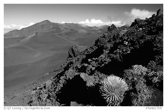 Silversword in Haleakala crater, Sliding sands trail. Haleakala National Park (black and white)