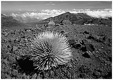Silversword plant and Clouds, Haleakala crater. Haleakala National Park ( black and white)