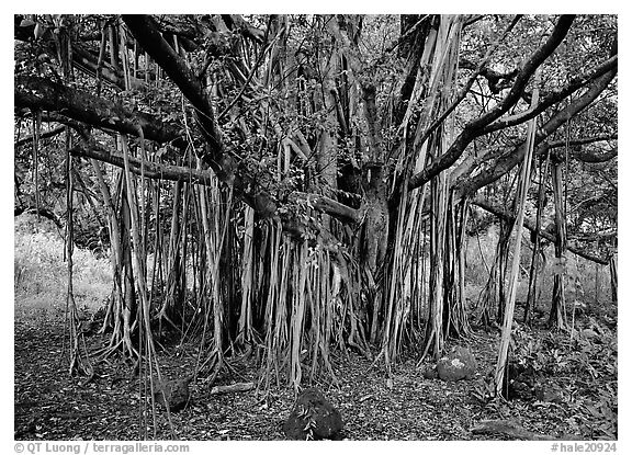 Banyan tree. Haleakala National Park (black and white)