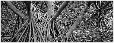 Roots, trunks and fallen leaves of Pandemus trees. Haleakala National Park (Panoramic black and white)