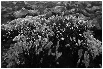 Ohelo (Vaccinium reticulatum). Haleakala National Park ( black and white)