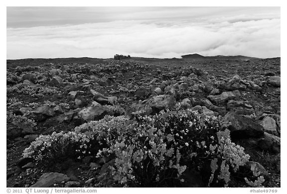 Ohelo berry plants and sea of clouds. Haleakala National Park (black and white)