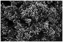 Pukiawe (Styphelia tameiameiae). Haleakala National Park ( black and white)